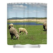 Sheep On Pasture Nature Farm Scene Shower Curtain