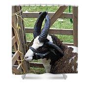 Sheep Three Shower Curtain