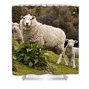 Sheep With Twin Lambs Stony Bay Shower Curtain by Colin Monteath