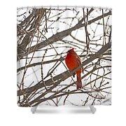 Showing His Colours - Northern Cardinal - Cardinalis Cardinalis Shower Curtain