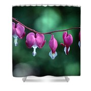 Showy Bleeding Hearts  Shower Curtain