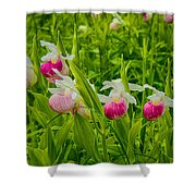 Showy Lady's Slipper Orchids Shower Curtain