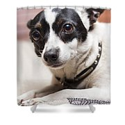 Shy Lonely Mini Fox Terrier Dog Laying On A Bed Shower Curtain