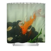 Siamese Fighting Fish 1 Shower Curtain