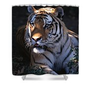 Siberian Tiger Executive Portrait Shower Curtain