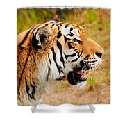 Siberian Tiger In Profile Shower Curtain