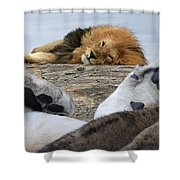 Siesta Time For Lions In Africa Shower Curtain