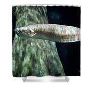 Silver Arowana Fish In Paludarium Shower Curtain