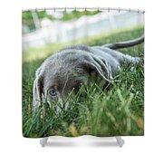 Silver Labrador Retriever  Shower Curtain
