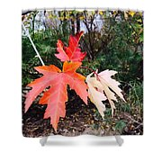 Silver Maple In Red Shower Curtain