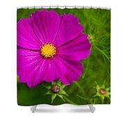 Single Purple Cosmos Flower Shower Curtain