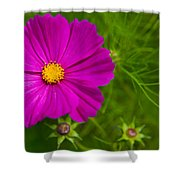 Single Purple Cosmos Flower Shower Curtain