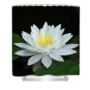 Single While Water Lily On Black Background Shower Curtain