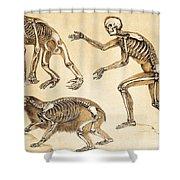 Skeletons Of Man, Ape, Bear, 1860 Shower Curtain