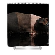 Skinny Guinea Pig On Isolated Black Background Shower Curtain by Sergey Taran