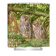 Sleeping Barred Owlets Shower Curtain