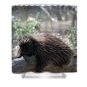 Sleeping Porcupine With Lots Of Quills Shower Curtain