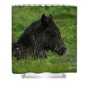 Sleepy Dartmoor Foal Shower Curtain