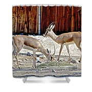 Slender-horned Gazelles In Living Desert Zoo And Gardens In Palm Desert-california Shower Curtain