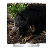 Sloth Bears Melursus Ursinusat Shower Curtain