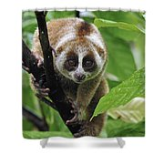 Slow Loris Nycticebus Coucang, Northern Shower Curtain