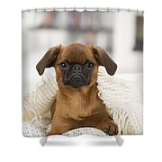 Small Brabant Griffon, Petit Brabancon, Dog  Shower Curtain