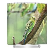 Small Budgie Birds With Beautiful Colored Feathers Shower Curtain