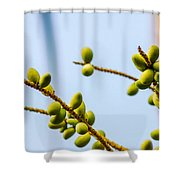 Small Coconuts I Shower Curtain