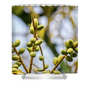 Small Coconuts Shower Curtain