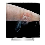 Small Headed Cave Loach Shower Curtain