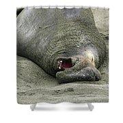 Snoring Elephant Seal Shower Curtain