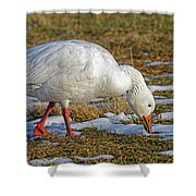 Snow Goose Feeding In A Field Shower Curtain