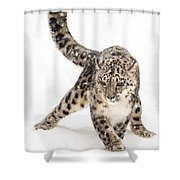 Snow Leopard On The Prowl Viii Shower Curtain