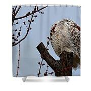 Snowy Owl Preening Shower Curtain