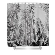 Snowy Sequoias At Calaveras Big Tree State Park Black And White 3 Shower Curtain