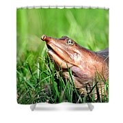Soft Shell Turtle  Shower Curtain