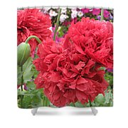 Somniferum Poppy 1 Shower Curtain