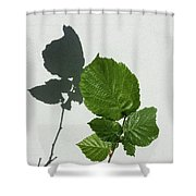 Sophisticated Shadows - Glossy Hazelnut Leaves On White Stucco - Vertical View Upwards Left Shower Curtain