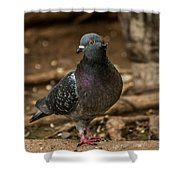 South American Pigeon  Shower Curtain