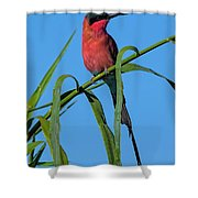 Southern Carmine Bee-eater  Shower Curtain
