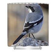 Southern Grey Shrike-- . Shower Curtain