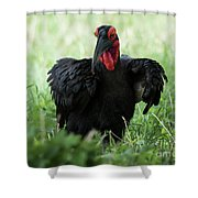 Southern Ground Hornbill Eating An Insect In Tarangire Shower Curtain