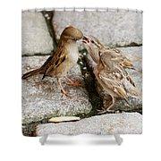 Sparrow Feeding Fledgelings Shower Curtain