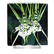 Spider Orchid Brassia Shower Curtain