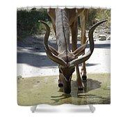 Spiral Horned Antelope Drinking Shower Curtain