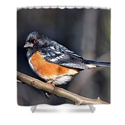 Spotted Towhee Portrait Shower Curtain