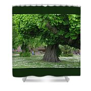Spreading Chestnut Tree Shower Curtain