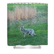 Spring Coyote  Shower Curtain