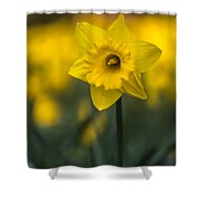 Spring Daffoldil Shower Curtain