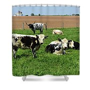 Spring Day With Cows On An Amish Cattle Farm Shower Curtain